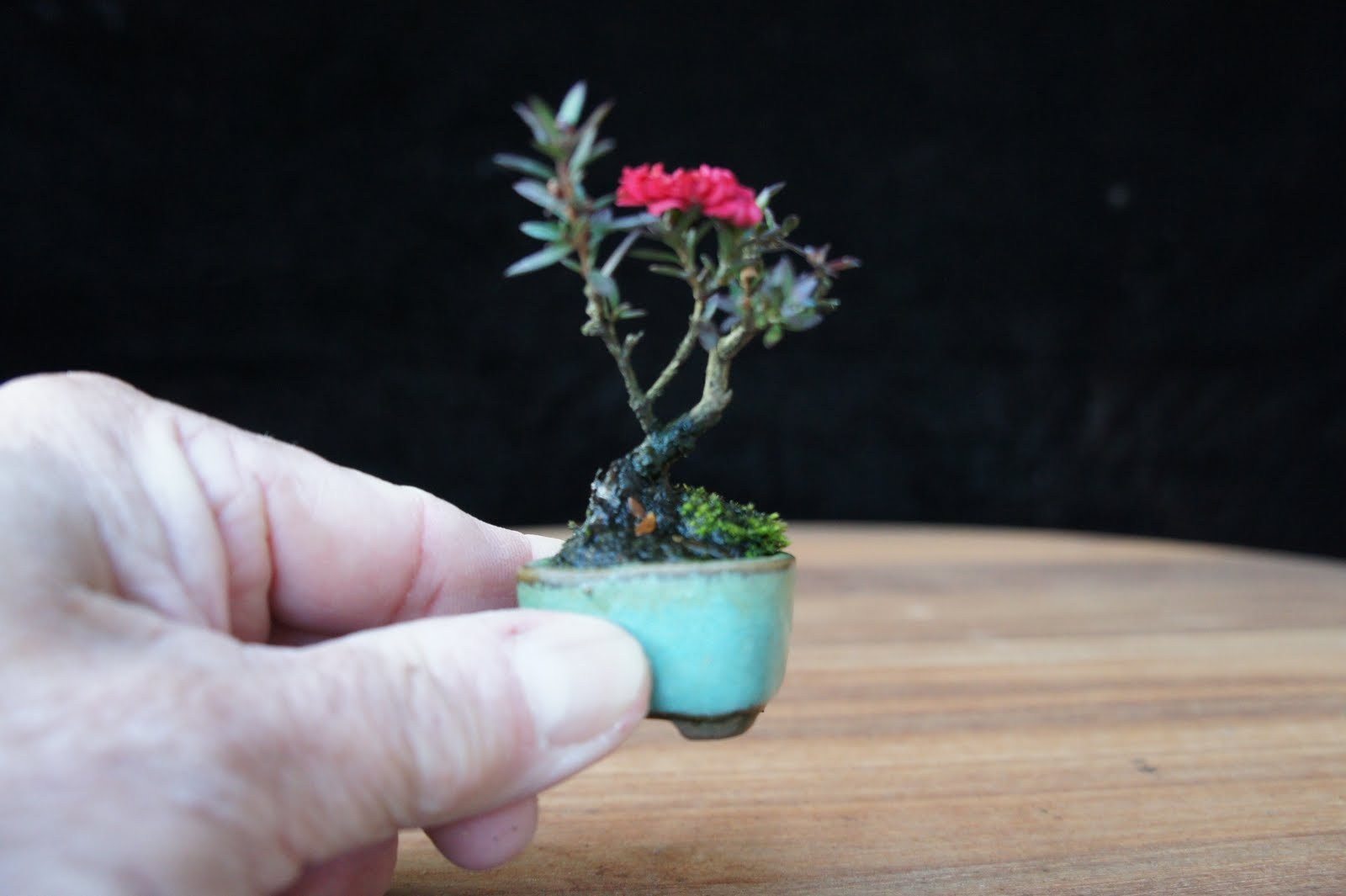 Newzealandteatreebonsai My Smallest Tea Tree Bonsai