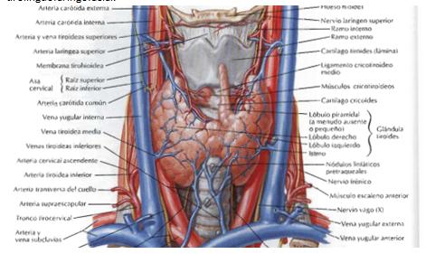 digestivouq: Irrigación, retorno venoso y linfático de cuello por ...