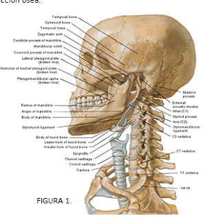 El blog neuroanatomico del dr mime cuello generalidades topografia hueso hioides - Cuales son las mejores almohadas para las cervicales ...