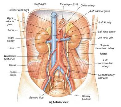 Anatomia: Uretér por Anderson