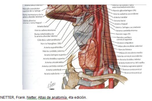 cardiorespiratoriouq: Glándula tiroides y paratiroides por Angélica ...