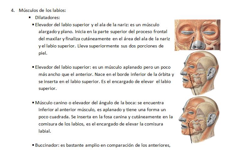 digestivouq: Músculos de la cara por Laura T. Gómez