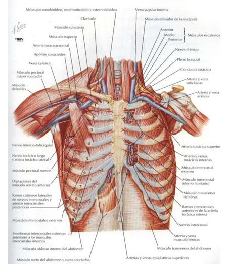 lesiones de musculos: