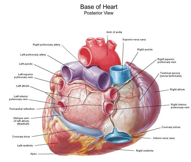 cardiorespiratoriouq: Configuración externa del corazón por ...