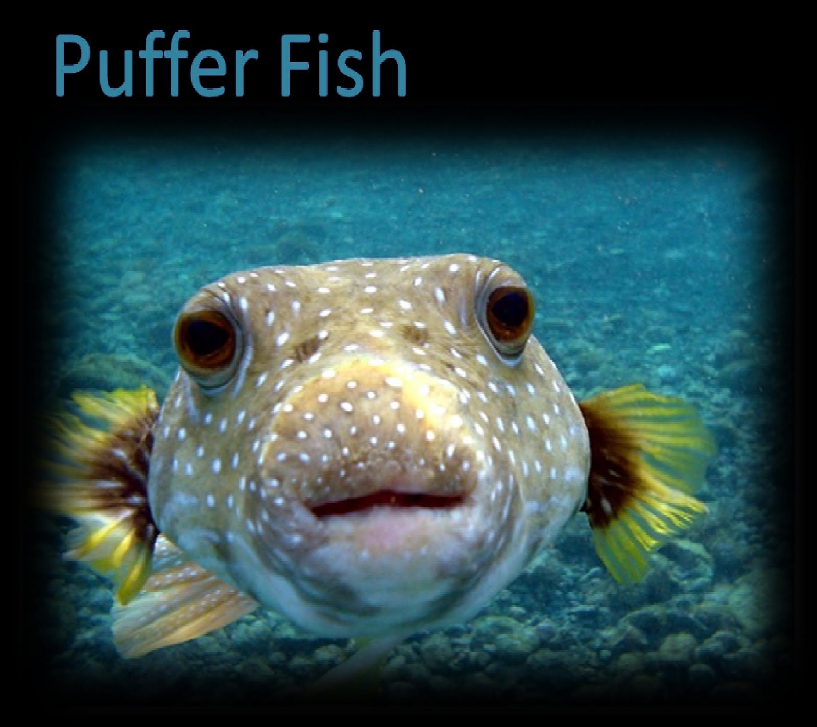 Deadliest species in the earth puffer fish for How much is a puffer fish