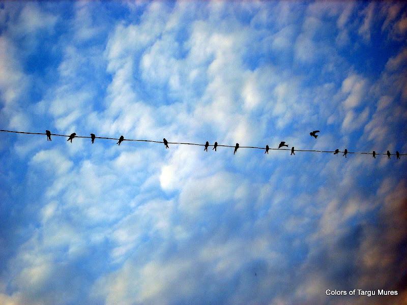 Randunele,pasari migratoare