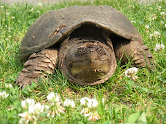 Mother SNapper After Laying Eggs