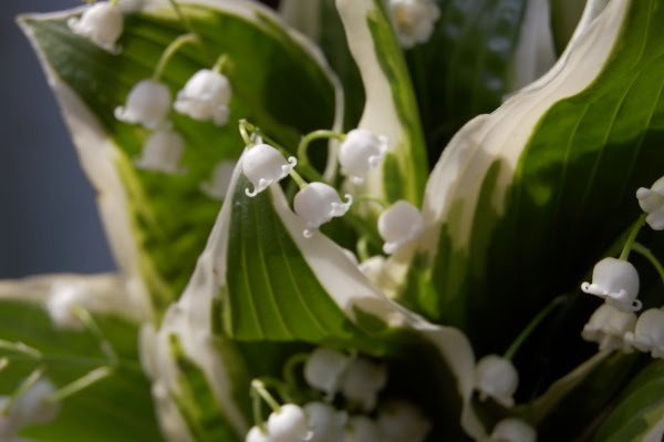 It 39s now the height of lily of the valley season here in Vermont and the