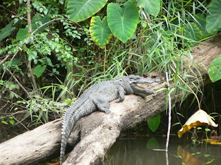 Wild Crocodiles spotted in Khao Yai