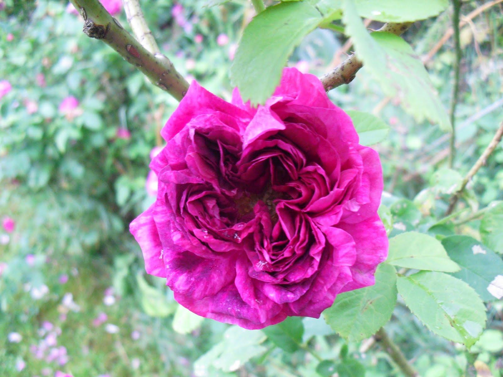 http://4.bp.blogspot.com/_ZGAH9dSpC5M/TFqLyJbHjhI/AAAAAAAABrY/6GcXu3hqIbY/s1600/Blomstring+31.+Juli+2010+065.JPG