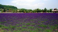 Lavender field at ファーム富田 (Farm Tomita)