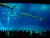 7.9m-long whale sharks at 美ら海水族館 (Churaumi Aquarium)