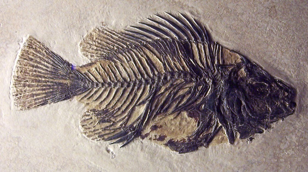 Louisville fossils and beyond priscacara clivosa fish fossil for The history of fish