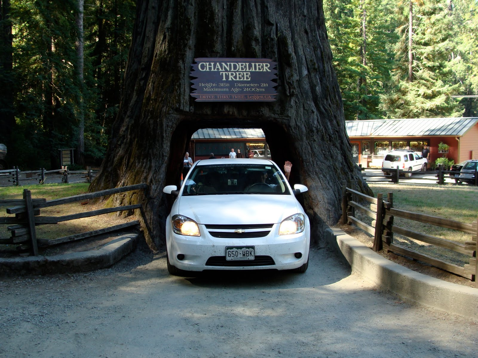 Life as a sias everythings bigger in texasexcept for the trees the avenue of the giants is a 30 mile drive that wanders in and out of patchy old growth redwood groves whereas chandelier tree arubaitofo Gallery