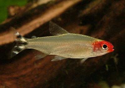 Guía de identificación sexual en peces de acuario.