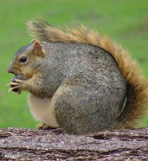 Fat-Squirrel.jpg