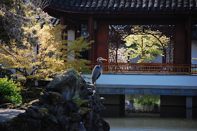 Great Blue Heron at Sun Yat Sen Gardens, Strathcona