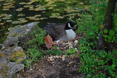 Broody goose at Sun Yat Sen Gardens, Strathcona BC