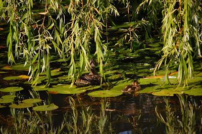 Mallard duck & duckling, Sun Yat Sen Gardens, Strathcona