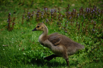 Gosling at Green-Wood Cemetery, Brooklyn