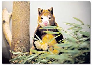 Kanggaru spesies terancam lahir anak