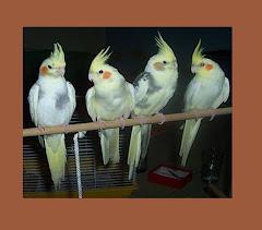 bergelut di dunia burung ocehan