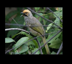 Cucak Rawa Bird