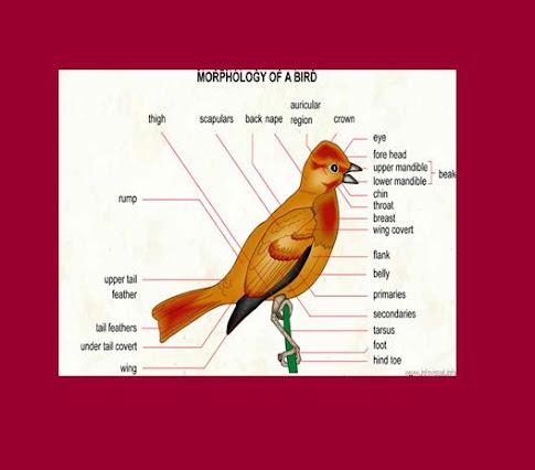 Morfologi seekor Burung