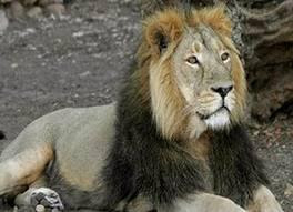 geer lion sanctuary in gujarat
