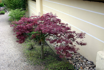 A dwarf Japanese maple