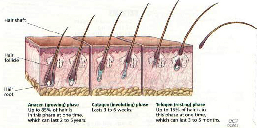 Saw palmetto for hair loss | does it work?