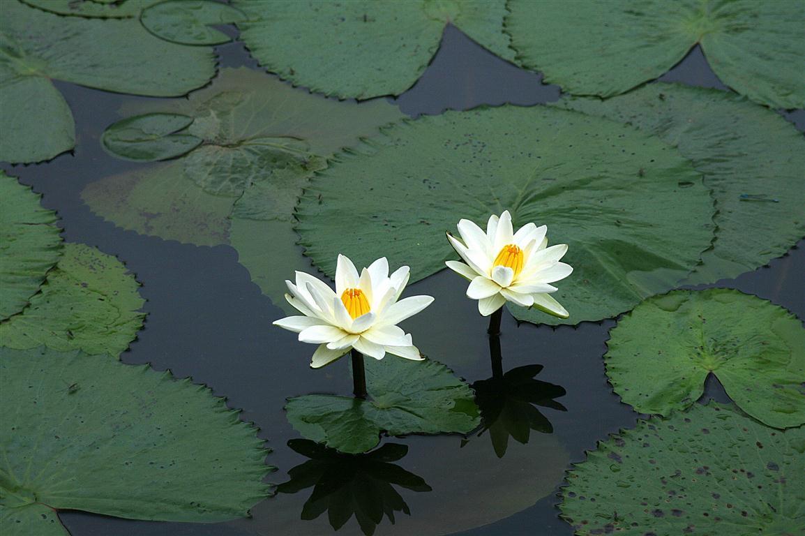 تعلم كيف تسيطر على نفسك 20100919185547_water-litty-tattamangalam-dotcompals