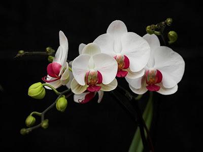 Орхидеи Slide4