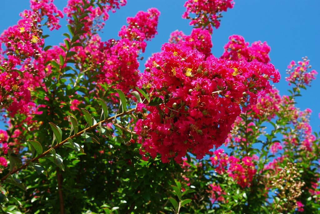 Flore en valois lilas des indes lagestroemia indica l - Arbre lilas des indes ...