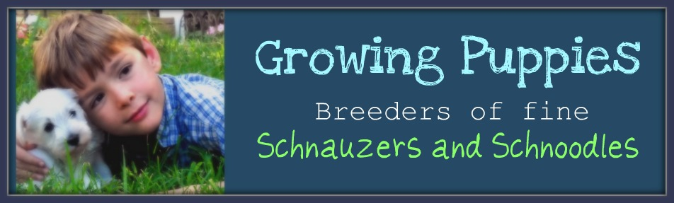 Growing Puppies - Virginia Schnoodle Breeder --Hypoallergenic Dogs