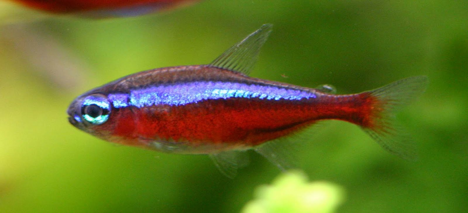 Cardinal Tetra Images & Pictures - Becuo