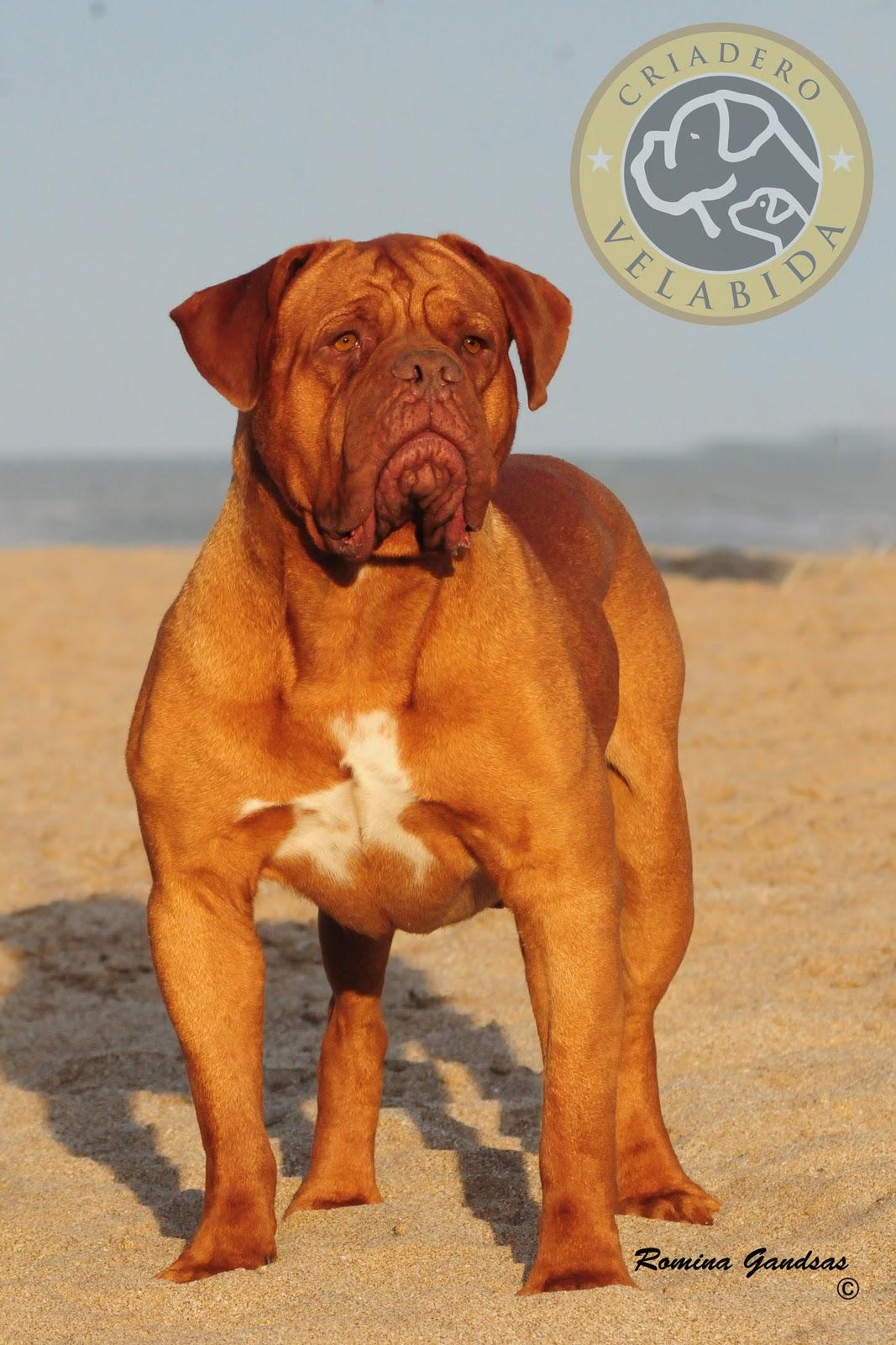 Bully Kutta Vs Pit Bull   Dog Breeds Picture