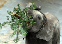 .pine eating oliphant.