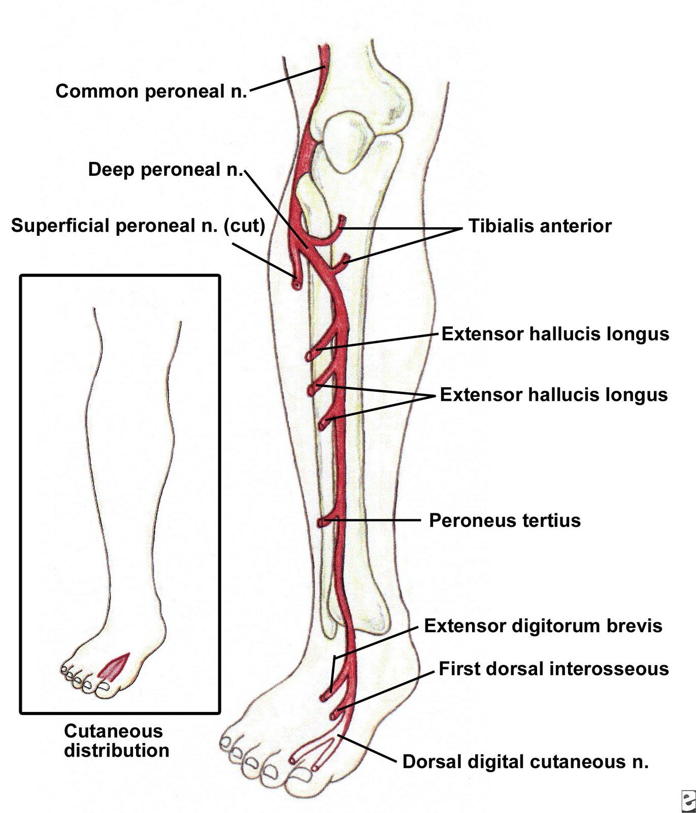 Dig 1 voet anatomie
