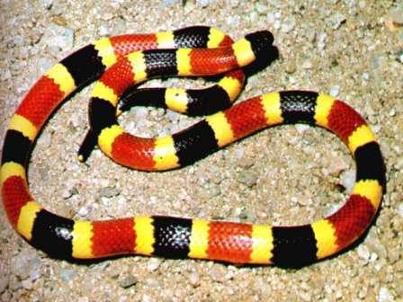 coral snake pics