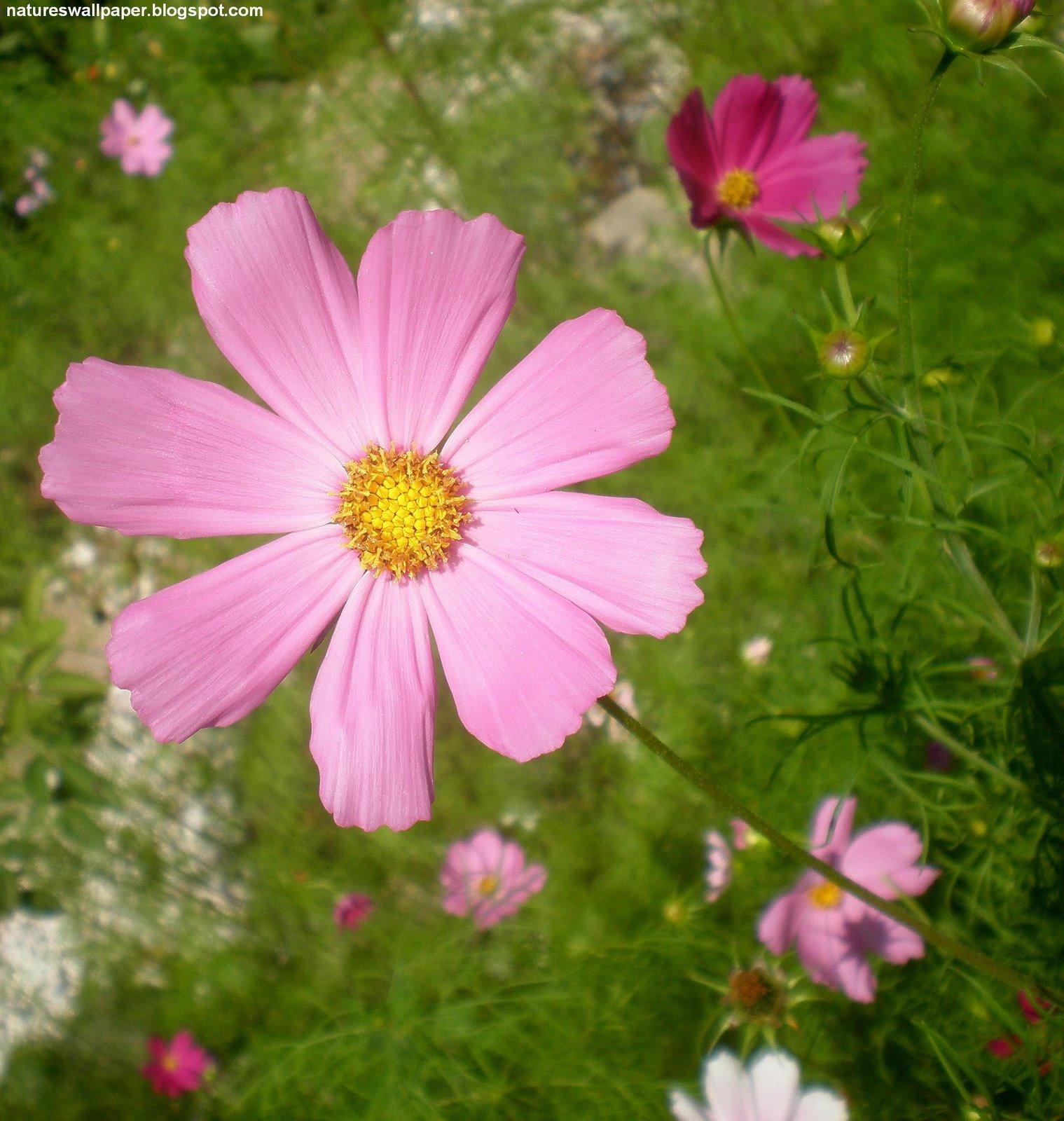 http://4.bp.blogspot.com/_ZWw3x1gj3hQ/TJoQr_mworI/AAAAAAAAIoM/xD5DUCjMksM/s1600/Cosmos+Flowers.jpg