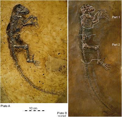El fósil de Ida, hallado cerca de Frankfurt: es una hembra y se posee el 95% de su esqueleto.