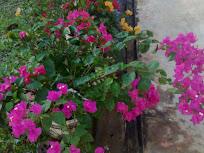 Bunga2 yang ku tanam -bouganvila