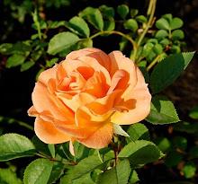 F.J. Lindheimer Rose