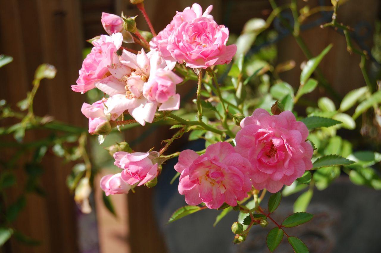jeannie 39 s fairy rose louisiana garden my fairy rose in. Black Bedroom Furniture Sets. Home Design Ideas