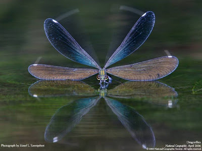 sunflower designs: dragonfly