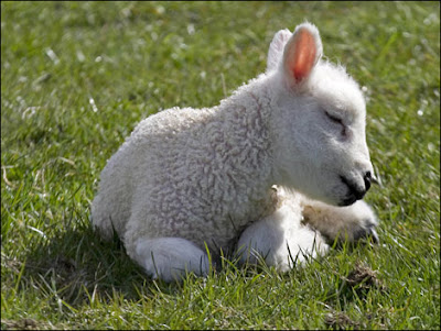 Baby Lamb Pictures on It S Officially Spring Time  And That Means Baby Animals  Join Us For