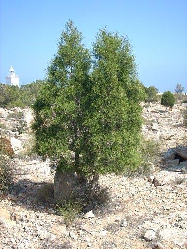 El blog del jardin for Plantas forestales