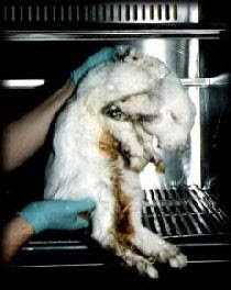 Toxicity test rabbit