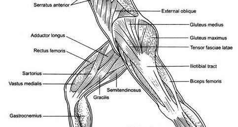 Dedicated to the High School Athletic Trainer: Gracilis strain